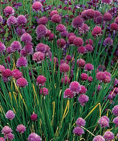 10 Perennials Easily Grown from Seed - Allium Penstemon Hardy ice plant Primrose Silene Dianthus Draba Russell hybrid lupine Native columbine Wild buckwheat Flower Garden, Growing Seeds, Plants, Dianthus Gratianopolitanus, Delosperma Cooperi, Seed Pots, Fine Gardening, Perennials, Flowers