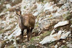 NIKON D800 + NIKON 500mm f/4G AF-S ED VR 500mm, f/4, 1/2000s, 250iso RAW + Lightroom v5.7 05/2016  #isard #pyrenees #wildlife #pirineos
