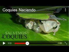 Dale LIKE a nuestra pagina https://www.facebook.com/salvemosloscoquies Vídeo del coquí común de Puerto Rico con visuales del momento en que nacen, narrado po...