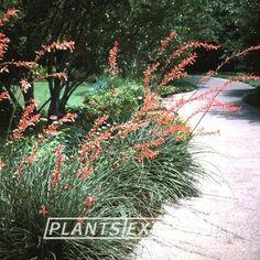 Plant photo of phormium tenax rubrum new zealand flax full sun hesperaloe parviflora thecheapjerseys Gallery