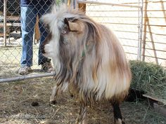 Information about our Miniature Silky Fainting Goat buck, San Sujo Buster Brown, at GottaGoat Farm. Fainting Goat, Goats, Miniatures, Horses, Brown, Animals, Animales, Animaux, Horse