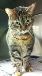 KERFLUFFLE fka BIGGUMS is an adoptable Domestic Short Hair Cat in Philadelphia, PA. KERFLUFFLE fka BIGGUMS (A16447543) *Declawed* Oh finally...are you the one I lodge my complaint with? No? Well, you ...