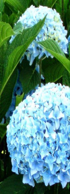 Hydrangea, a Cape Cod flower seen everywhere.