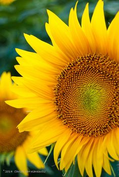 Grinter sunflower fields - NE of Lawrence, KS Having a healthy and fit body is Sunflowers And Daisies, All Flowers, Exotic Flowers, Beautiful Flowers, Sunflower Pictures, Sunflower Art, Sunflower Fields, Nature Images, Nature Pictures