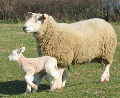 Brebie-agneau-r.jpg