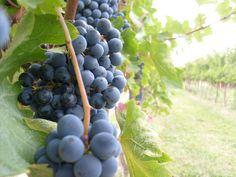 RESVERATROLO: ingrediente dell'uva identificato come beneficiario della salute cardiovascolare, cerebrovascolare e periferica. In aggiunta ad esso l'uva contiene anche una grande varietà di antiossidanti, la catechina, la epicatechina, e la proantocianidine. Il resveratrolo e la proantocianidine sono i principali composti presenti nell'uva, responsabili della cardioprotezione. Le uve possono attenuare le malattie cardiache come l'aterosclerosi e la cardiopatia ischemica.