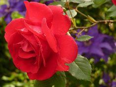 Rosa, Flor, Rosa Vermelha