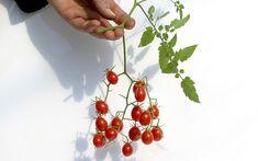 Wildtomate 'Small Egg' (Pflanze)