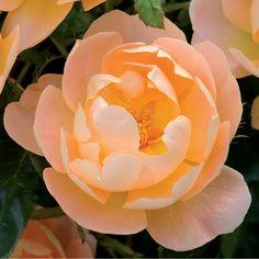 ザ・ラーク・アセンディング - The Lark Ascending (Ausursula) イングリッシュローズが持つ素晴らしい多様性を備えた見事なバラです。およそ20枚程の花びらを持つカップ咲きで、心地よいライトアプリコット色をした中輪です。地面から上に向かって、ちょうどよい間隔で最高15個の花を咲かせます。それぞれの花には微妙に違った軽やかな香りがあり、ティーの香りがする花がある一方でミルラの香りがする花もあります。耐寒性のある宿根草や低木とのミックスボーダーに適していて、背が高くふんわりとした感じの姿は、同じような雰囲気を持つ植物と相性が良いでしょう。 #バラ #イングリッシュローズ #園芸 #ガーデニング #花