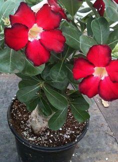 Adenium obesum 'Desert Rose' Unique Flowers, Different Flowers, Types Of Flowers, Beautiful Flowers, Fruit Plants, Cactus Plants, Garden Plants, Cacti And Succulents, Planting Succulents