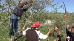 Calitri: Corso di potatura dell'ulivo; prima puntata ( parte prima ).