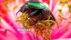 Beetle Cetonia Aurata