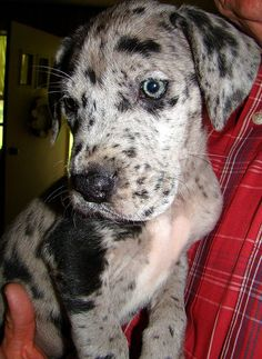 great dane puppy! looks like a catahoula