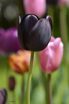 80de1a9ec7 dark tulip - This photo is taken in Brekkeparken