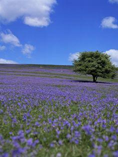 Bluebells, Dartmoor, Devon, England, United Kingdom