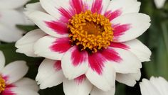 2010 AAS Bedding Plant Award Winner: Zinnia 'Zahara Starlight Rose'National Winner
