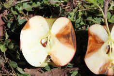 Apple Bitter Rot Season is Upon Us We have been seeing bitter rot in Kentucky orchards since mid-June. The disease becomes more intense as the season progresses. Garden Solutions, Bitter, Kentucky, Orchards, Apple, Seasons, Sick, Plants, June