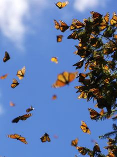 monarch migration background How monarchs make it to Mexico without a map - Futurity Aesthetic Images, Aesthetic Backgrounds, Aesthetic Iphone Wallpaper, Aesthetic Wallpapers, 90s Aesthetic, Butterfly Wallpaper Iphone, Sunflower Wallpaper, Sunset Wallpaper, Cute Wallpaper Backgrounds