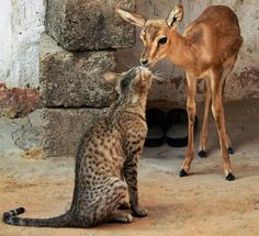 A young deer and a large cat touch noses in a village near Jodhpur, Rajasthan state, IndiaPicture: AP