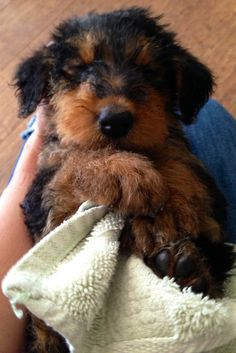 Airedale Pup, Tallulah - 6 weeks old