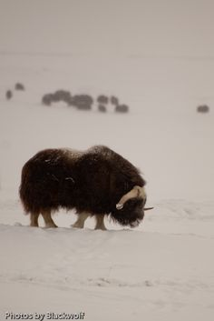 A lone musk ox feeds away from the herd near the Sagavanirktok River in Prudhoe Bay Alaska We did get to see these and it was amazing! Animals Images, Animal Pictures, Cute Animals, Prudhoe Bay Alaska, Arctic Blast, African Buffalo, Musk Ox, Living In Alaska, Exotic Animals