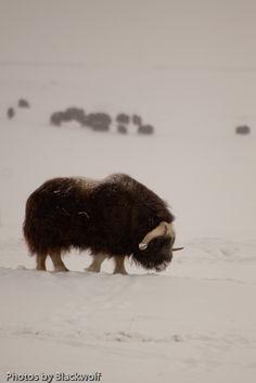 A lone musk ox feeds away from the herd near the Sagavanirktok River in Prudhoe Bay Alaska