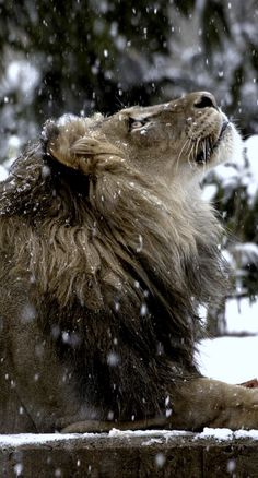 A lion in winter. The Lion The Witch and The Wardrobe. Mundo Animal, My Animal, Beautiful Cats, Animals Beautiful, Majestic Animals, Beautiful Things, Big Cats, Cats And Kittens, Siamese Cats