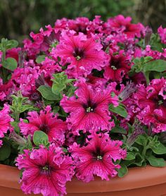 "Petunia, Espresso Frappe Rose Hybrid Dwarf petunia with showy flowers is ideal in hanging baskets and containers. Top notch dwarf petunia that wins plaudits for very showy, frilly blooms, comes in pink, complemented by dark-green foliage. Hardy, well-branched, enthusiastically flowering dwarf 12-14"" plants perform beautifully in sun and shade. Well-suited for hanging baskets and patio pots. LifeCycle: Annual  Uses: Beds, Borders  Sun: Full Sun, Part Sun  Height: 12-14  inches Spread: 12-14…"