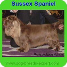 Sussex Spaniel Dog Breed, Rare or a Best Kept Secret? Best Dog Food, Best Dogs, Calm Dog Breeds, Sussex Spaniel, Spaniel Dog, Family Dogs, Puppies, Pets, Animals