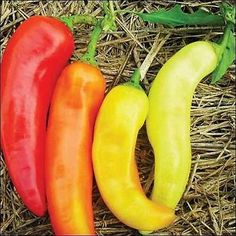 Banana Pepper (also known as the yellow wax pepper or banana chili) is a medium-sized member of the chili pepper family that has a mild, tangy taste. While typically bright yellow, it is possible for