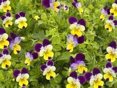 ediable flowers - - Yahoo Image Search Results