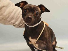 SAFE 1-21-2016 --- Manhattan Center OREO – A1062852  FEMALE, BLACK / WHITE, CHIHUAHUA SH, 7 yrs OWNER SUR – AVAILABLE, NO HOLD Reason MOVE2PRIVA Intake condition UNSPECIFIE Intake Date 01/13/2016