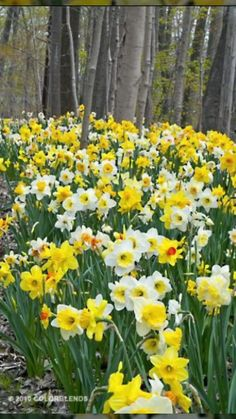All orange flowers and yellow flowers are beautiful and with meanings of their o. Yellow Wedding Flowers, Orange Flowers, Spring Flowers, White Flowers, Exotic Flowers, Yellow Roses, Pink Roses, Daffodil Bulbs, Daffodils