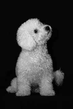 Bichon Frisé just like my baby Drix Animals And Pets, Baby Animals, Cute Animals, Frise Art, Bichon Dog, Teacup Chihuahua, Chihuahua Dogs, Cute Puppies, Dogs And Puppies