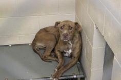 """141116 - """"HOPE"""" Female Pit *** THIS IS EXTREMELY URGENT** Just came in to AC on Friday and is already on the EUTH. LIST for 4/8!! PLEASE HELP!  https://fundrazr.com/campaigns/djeZ6/ab/61VcX1? Clayton County Animal Control, GA https://www.facebook.com/photo.php?fbid=757947574224281&set=a.511463058872735.129181.339511346067908&type=1&theater"""