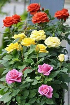 Always have rose bushes in your garden. They're just beautiful.