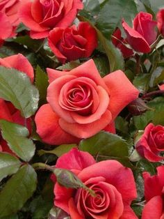 H::Rosas,  rosas