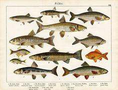 Antique Prints Fish Barbel Trout Salmon Bitterling Schubert 1878