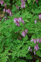 Bleeding Heart (Dicentra eximia) /Another plant I have that was a gift and I did not know what it was, until now.