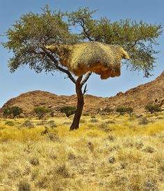 This enormous nest near Aus, Namibia, is actually a bird apartment complex. The Social Weaver birds found in Namibia and South Africa live in community nests. I don't know whether each bird has its own apartment number and mailbox, but evidently they have no trouble finding their own dwellings.