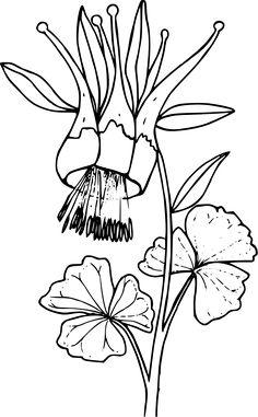 Columbine Flower Sketch