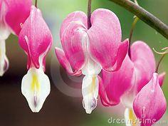 Bleeding Heart Flower Blossoms!!!