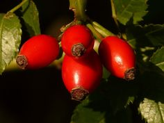 A cluster of rosehips waiting to be picked and a great post on a natural Chilean export. Read more.