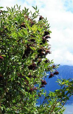 * Powoli nadchodzi czas przetworów z owoców czarnego bzu. Jako, że dostaję coraz więcej pytań na ich temat, stwierdziłam, że pora opublikować czekający w kolejce post.  W czerwcu pisałam Wam o syropie z kwiatów czarnego bzu. Kwiaty (
