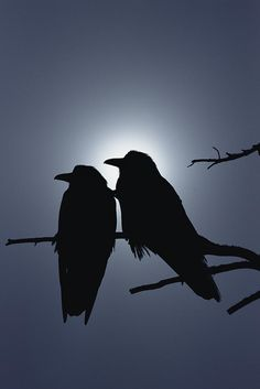 Common Raven Pair Perching Photograph by Michael Quinton - Common Raven Pair Perching Fine Art Prints and Posters for Sale