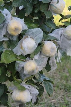 Covered fleece fruit trees for bugs and squirrels: use the mesh nets that are used for potatoes and other bulk vegetables. Fruit Garden, Edible Garden, Vegetable Garden, Herbs Garden, Trees And Shrubs, Trees To Plant, Espalier Fruit Trees, Apple Tree Care, Peach Tree Care