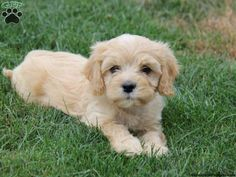Teddy, Cavapoo puppy for sale in Honey Brook, Pa