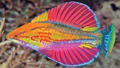 Paracheilinus alfiani a new species joining the ranks of flasher wrasses. Paracheilinus alfiani a new species joining the ranks of flasher wrasses. Underwater Creatures, Underwater Life, Ocean Creatures, Pretty Fish, Beautiful Fish, Beautiful Sea Creatures, Animals Beautiful, Colorful Fish, Tropical Fish