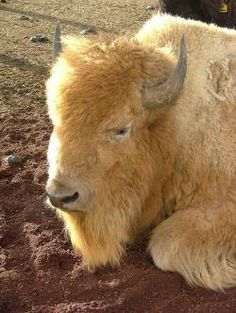 Loved them, and the alpaca! Reptiles, Mammals, Beautiful Horses, Animals Beautiful, Animals And Pets, Cute Animals, Wild Animals, Buffalo Pictures, Baby Bison