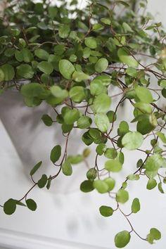 Sköna gröna rankor | Blomsterlandet.se